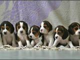 Собаки, щенята Бігль, ціна 6800 Грн., Фото
