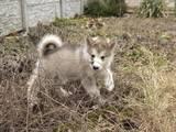Собаки, щенки Аляскинский маламут, цена 15000 Грн., Фото