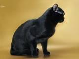 Кішки, кошенята Бомбейська, ціна 25000 Грн., Фото