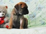 Собаки, щенки Бульмастиф, цена 5000 Грн., Фото