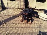 Собаки, щенки Ягдтерьер, цена 900 Грн., Фото