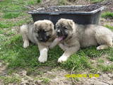 Собаки, щенки Кавказская овчарка, цена 4000 Грн., Фото