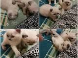 Кішки, кошенята Колор-пойнт короткошерстий, ціна 1500 Грн., Фото