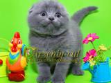 Кошки, котята Шотландская вислоухая, цена 3800 Грн., Фото
