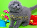 Кішки, кошенята Шотландська висловуха, ціна 3800 Грн., Фото