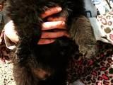 Собаки, щенята Бельгійська вівчарка (Грюнендаль), ціна 3500 Грн., Фото