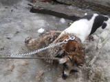 Собаки, щенки Гладкошерстный фокстерьер, цена 1000 Грн., Фото