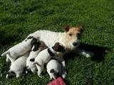 Собаки, щенята Жорсткошерстий фокстер'єр, ціна 600 Грн., Фото