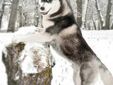 Собаки, щенки Сибирский хаски, цена 25000 Грн., Фото