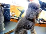 Собаки, щенята Карликовий пудель, ціна 120 Грн., Фото