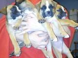 Собаки, щенята Боксер, ціна 2500 Грн., Фото