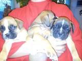 Собаки, щенки Боксер, цена 2500 Грн., Фото