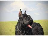 Собаки, щенки Ризеншнауцер, цена 8500 Грн., Фото