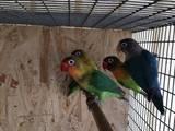 Попугаи и птицы Попугаи, цена 250 Грн., Фото