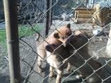 Собаки, щенята Різне, ціна 3500 Грн., Фото