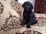 Собаки, щенята Лабрадор ретрівер, ціна 3500 Грн., Фото