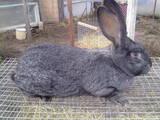 Гризуни Кролики, ціна 500 Грн., Фото
