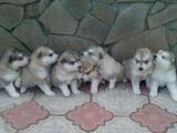 Собаки, щенки Аляскинский маламут, цена 4500 Грн., Фото