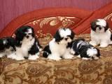 Собаки, щенята Ши-тцу, Фото