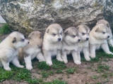 Собаки, щенята Аляска маламут, ціна 4800 Грн., Фото