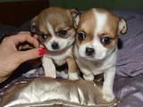 Собаки, щенки Чихуа-хуа, цена 1800 Грн., Фото