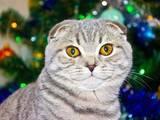 Кішки, кошенята Шотландська короткошерста, ціна 3500 Грн., Фото