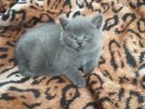 Кошки, котята Британская короткошерстная, цена 3000 Грн., Фото