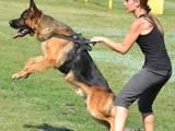 Собаки, щенки Немецкая овчарка, цена 5000 Грн., Фото