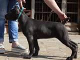 Собаки, щенята Кане Корсо, ціна 40000 Грн., Фото
