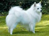 Собаки, щенята Малий шпіц, ціна 5000 Грн., Фото