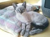 Кішки, кошенята Тайська, ціна 1000 Грн., Фото