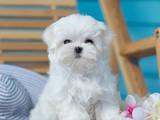 Собаки, щенки Мальтийская болонка, цена 80000 Грн., Фото