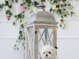 Собаки, щенята Мальтійська болонка, ціна 80000 Грн., Фото