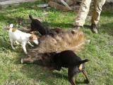 Собаки, щенята Ягдтер'єр, ціна 2600 Грн., Фото