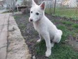 Собаки, щенята Східно-сибірська лайка, ціна 800 Грн., Фото
