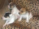 Собаки, щенята Джек Рассел тер'єр, ціна 2700 Грн., Фото