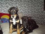 Собаки, щенки Среднеазиатская овчарка, цена 7000 Грн., Фото