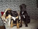 Собаки, щенята Середньоазіатська вівчарка, ціна 7000 Грн., Фото