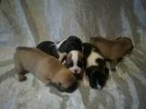 Собаки, щенки Французский бульдог, цена 9000 Грн., Фото