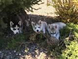 Собаки, щенки Сибирский хаски, цена 12500 Грн., Фото