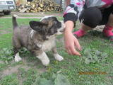 Собаки, щенки Московская сторожевая, цена 2700 Грн., Фото