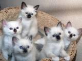 Кошки, котята Бирманская, цена 300 Грн., Фото