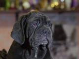 Собаки, щенята Мастіно неаполетано, ціна 1500 Грн., Фото