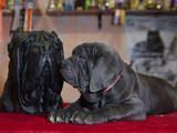 Собаки, щенки Мастино неаполетано, цена 1500 Грн., Фото