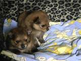 Собаки, щенята Померанський шпіц, ціна 2500 Грн., Фото