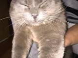 Кішки, кошенята Британська короткошерста, Фото