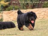 Собаки, щенята Тибетський мастиф, ціна 10000 Грн., Фото