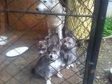 Собаки, щенята Західно-Сибірська лайка, ціна 1100 Грн., Фото