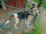 Собаки, щенята Ганноверська гонча, ціна 10 Грн., Фото