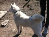 Собаки, щенки Русско-Европейская лайка, цена 3200 Грн., Фото